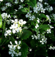 Honesty White - Lunaria annua alba - appx 150 seeds